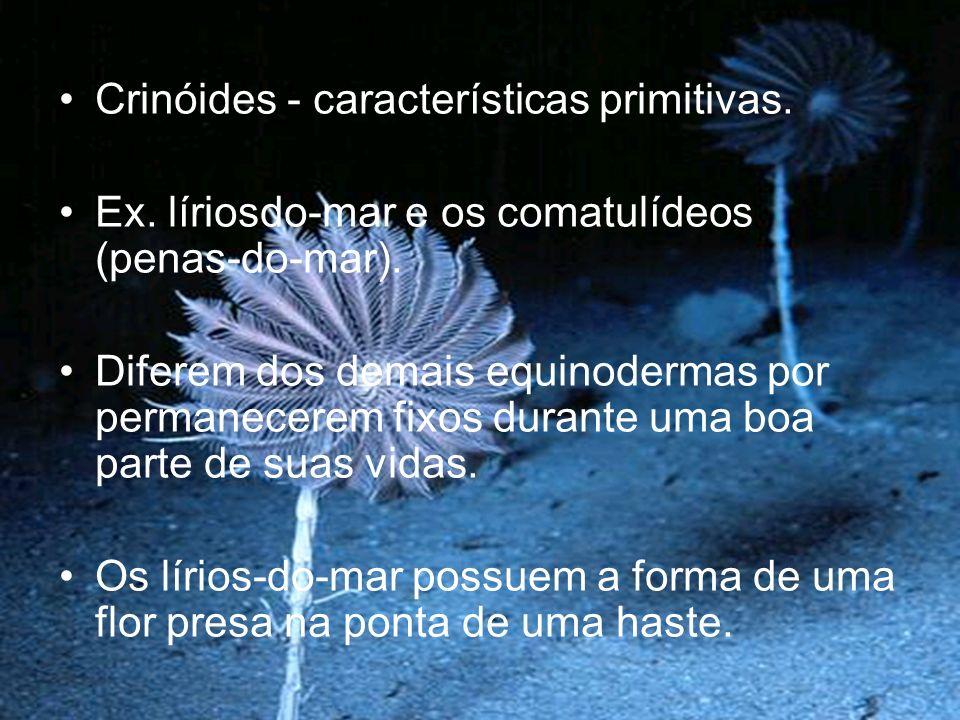 Crinóides - características primitivas.