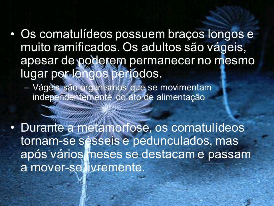 Os comatulídeos possuem braços longos e muito ramificados