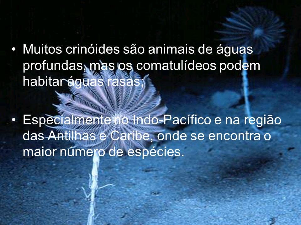 Muitos crinóides são animais de águas profundas, mas os comatulídeos podem habitar águas rasas;