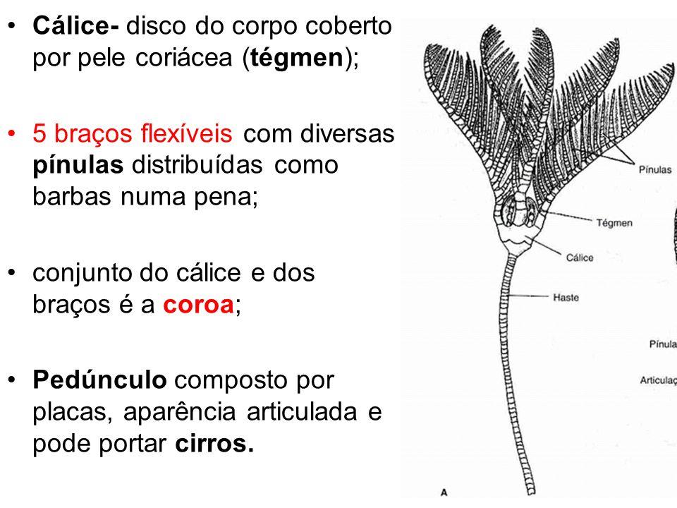 Cálice- disco do corpo coberto por pele coriácea (tégmen);