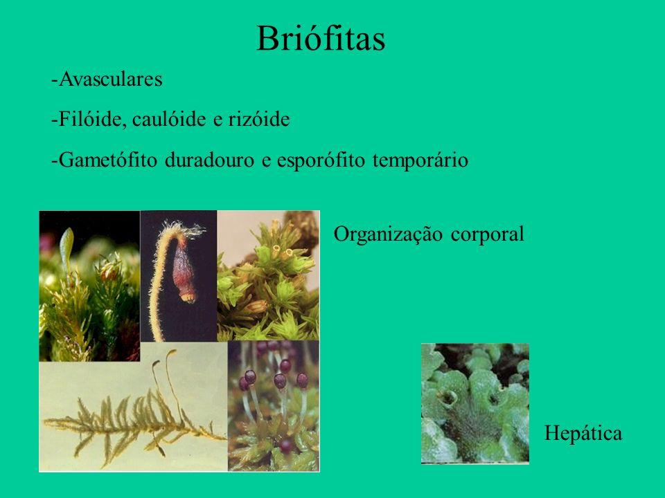 Briófitas Avasculares Filóide, caulóide e rizóide