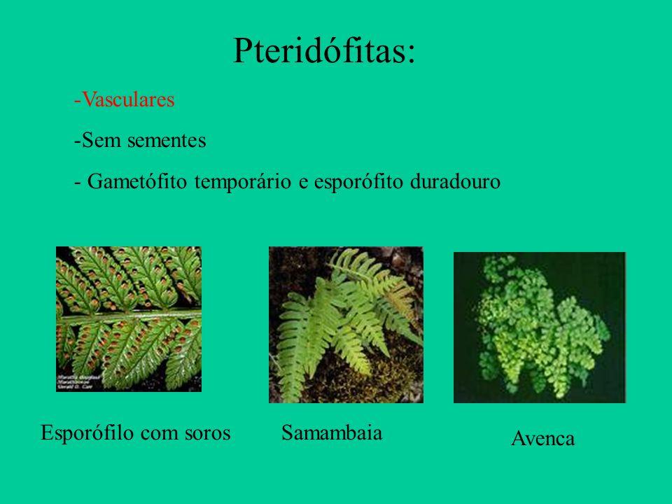 Pteridófitas: Vasculares Sem sementes