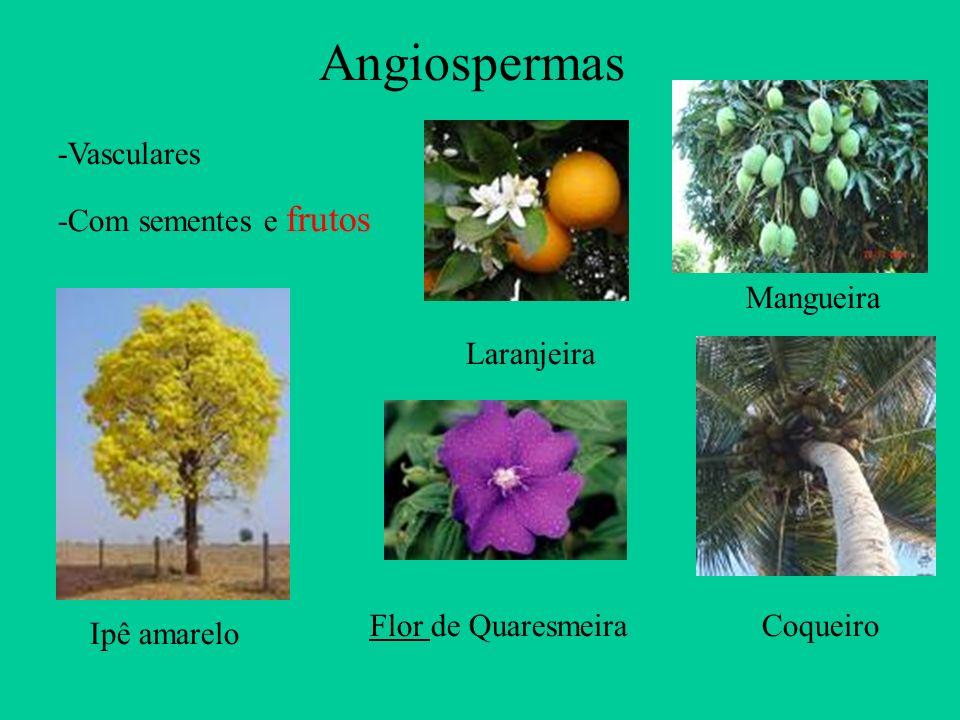 Angiospermas -Vasculares -Com sementes e frutos Mangueira Laranjeira
