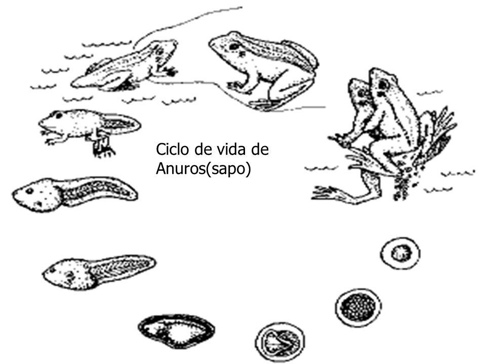 Ciclo de vida de Anuros(sapo)