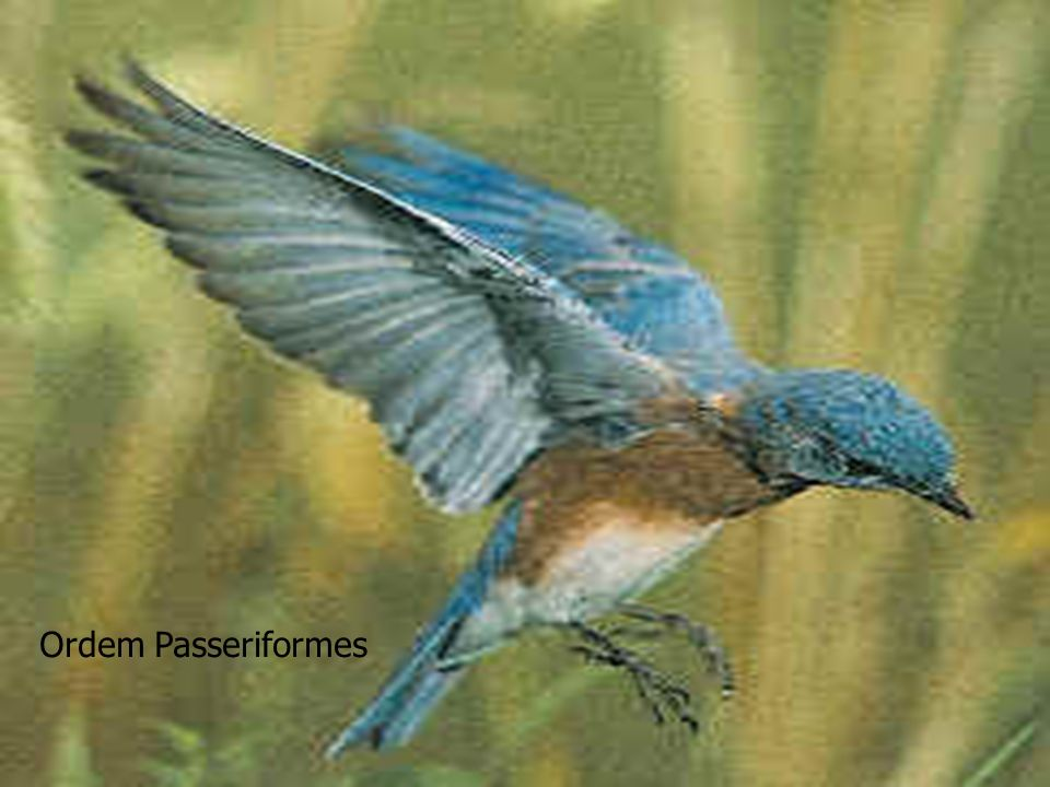 Ordem Passeriformes