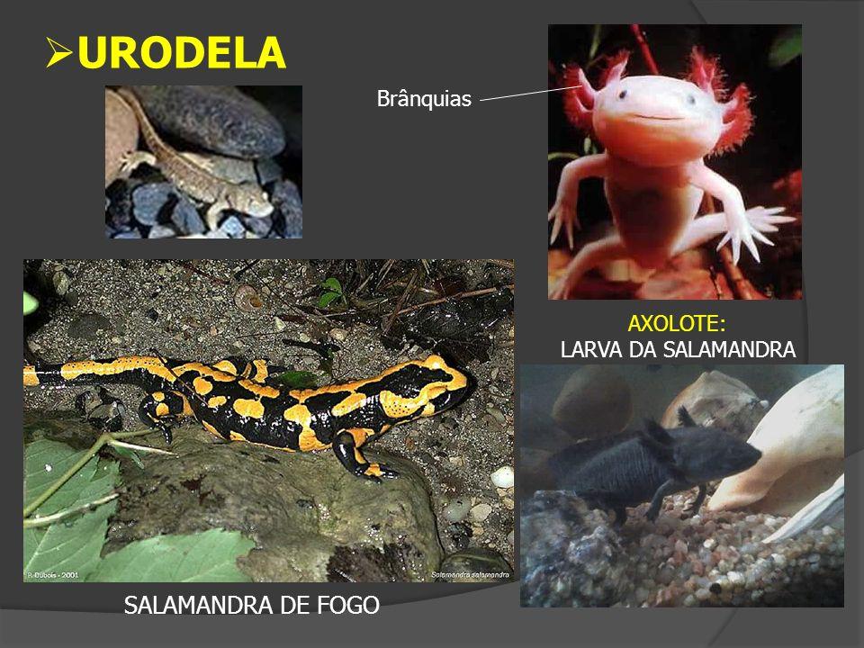 URODELA Brânquias AXOLOTE: LARVA DA SALAMANDRA SALAMANDRA DE FOGO