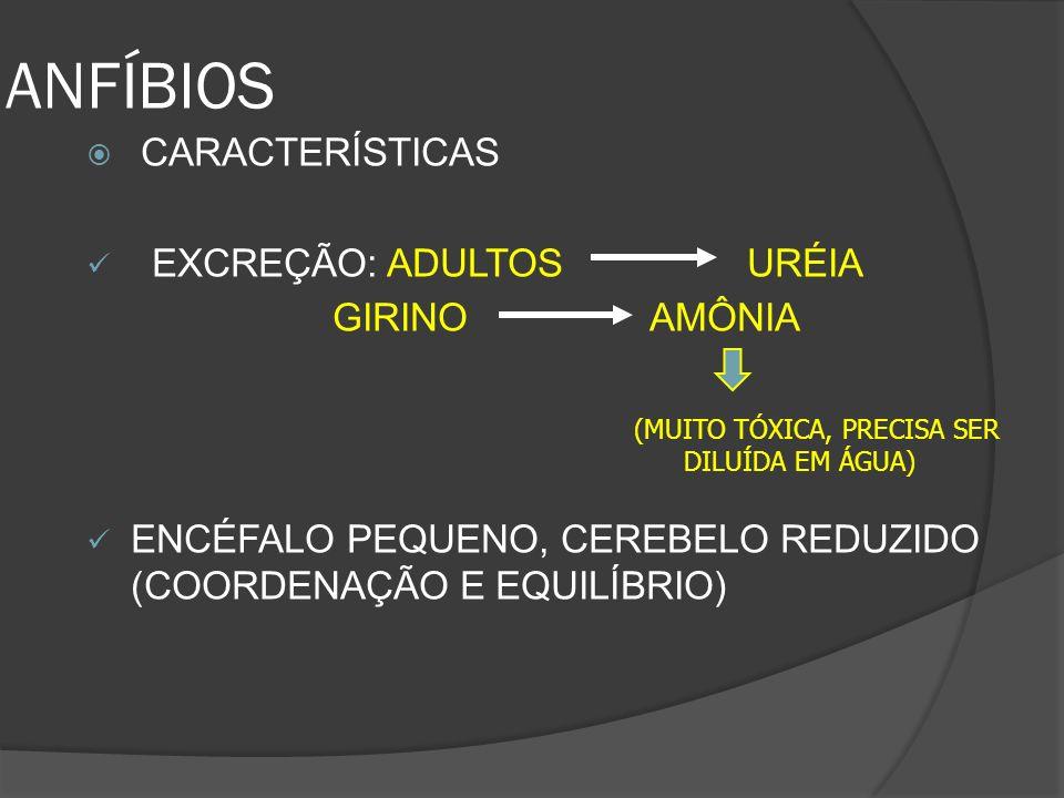 ANFÍBIOS EXCREÇÃO: ADULTOS URÉIA GIRINO AMÔNIA
