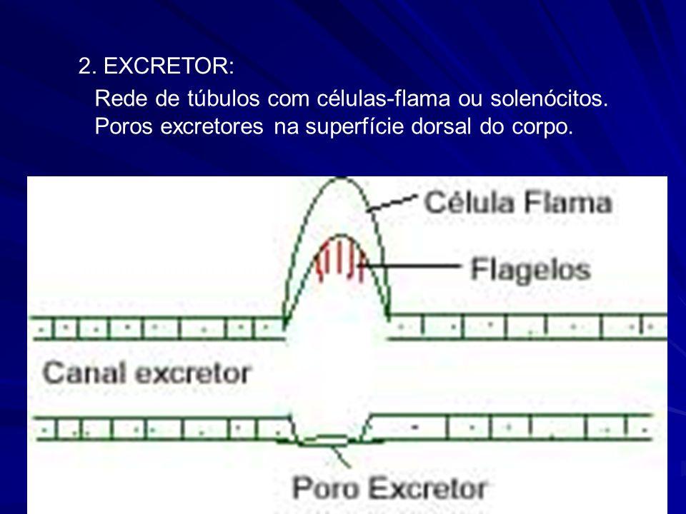 2. EXCRETOR: Rede de túbulos com células-flama ou solenócitos.