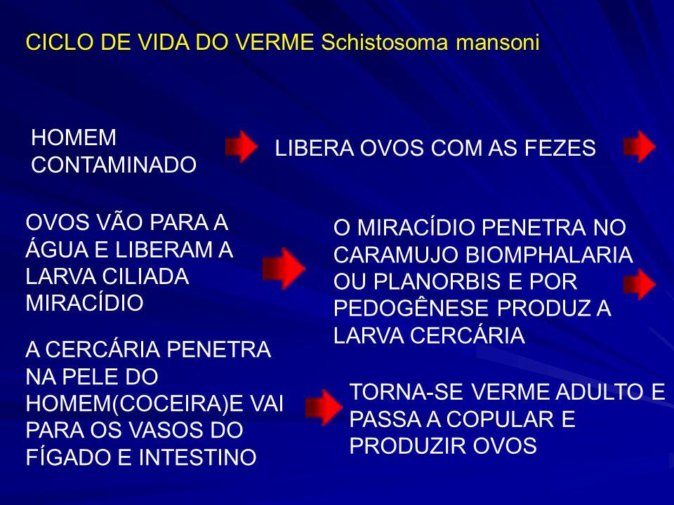 CICLO DE VIDA DO VERME Schistosoma mansoni
