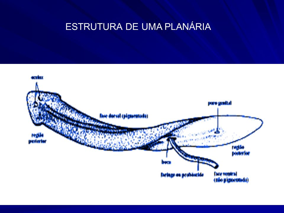 ESTRUTURA DE UMA PLANÁRIA