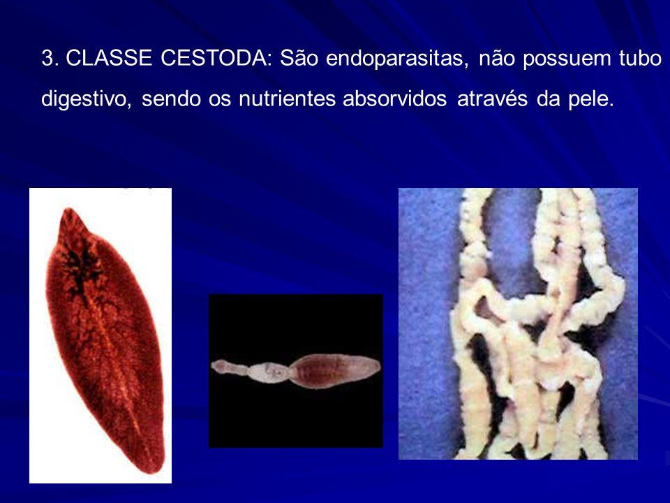 3. CLASSE CESTODA: São endoparasitas, não possuem tubo