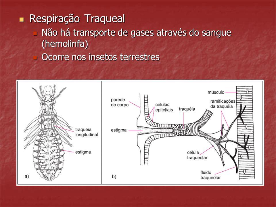 Respiração Traqueal Não há transporte de gases através do sangue (hemolinfa) Ocorre nos insetos terrestres.