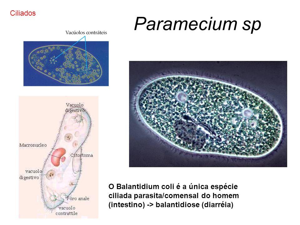 Paramecium sp Ciliados
