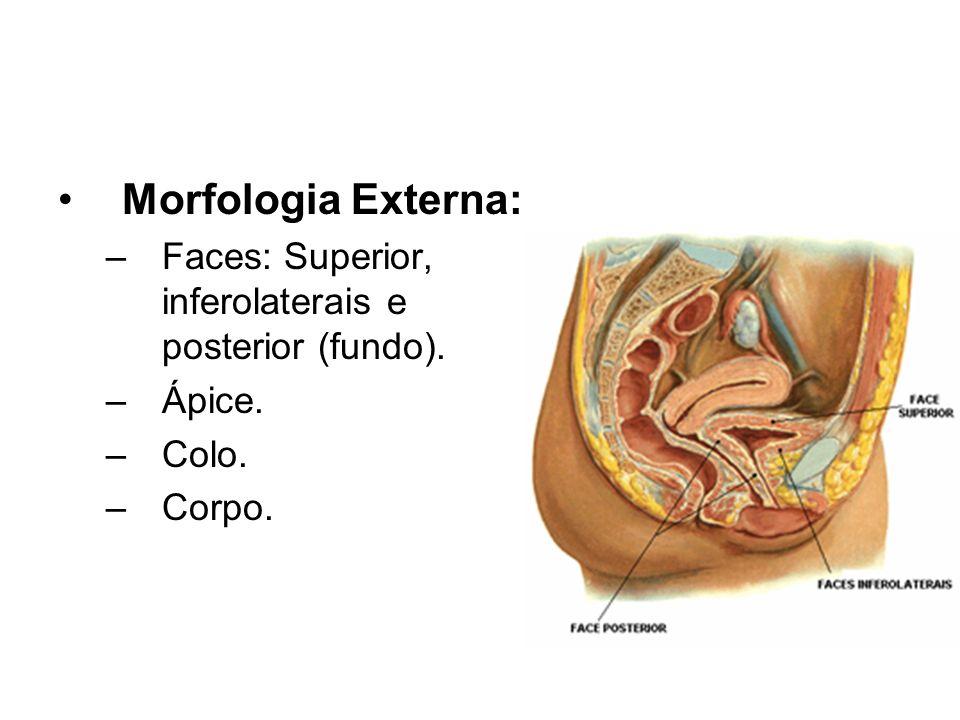 Morfologia Externa: Faces: Superior, inferolaterais e posterior (fundo). Ápice. Colo. Corpo.