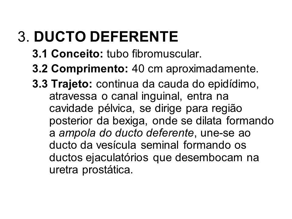3. DUCTO DEFERENTE 3.1 Conceito: tubo fibromuscular.