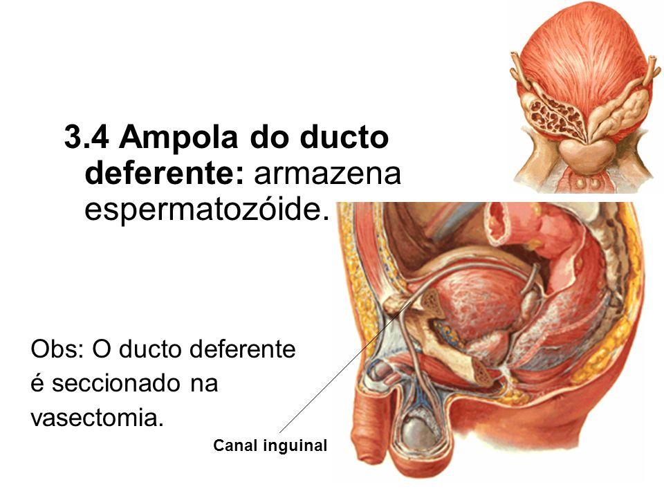 3.4 Ampola do ducto deferente: armazena espermatozóide.