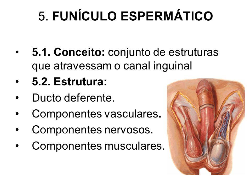 5. FUNÍCULO ESPERMÁTICO 5.1. Conceito: conjunto de estruturas que atravessam o canal inguinal. 5.2. Estrutura: