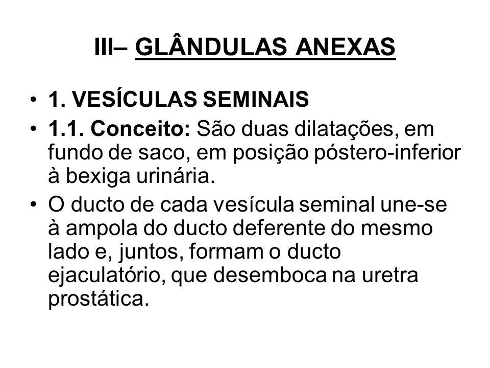 III– GLÂNDULAS ANEXAS 1. VESÍCULAS SEMINAIS
