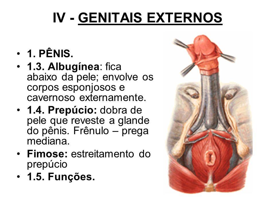IV - GENITAIS EXTERNOS 1. PÊNIS.