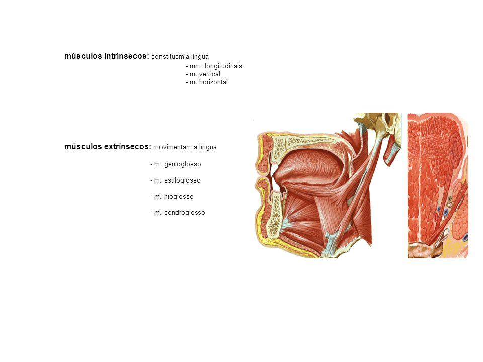 músculos intrínsecos: constituem a língua - mm. longitudinais