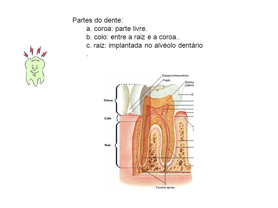Partes do dente: a. coroa: parte livre. b. colo: entre a raiz e a coroa..