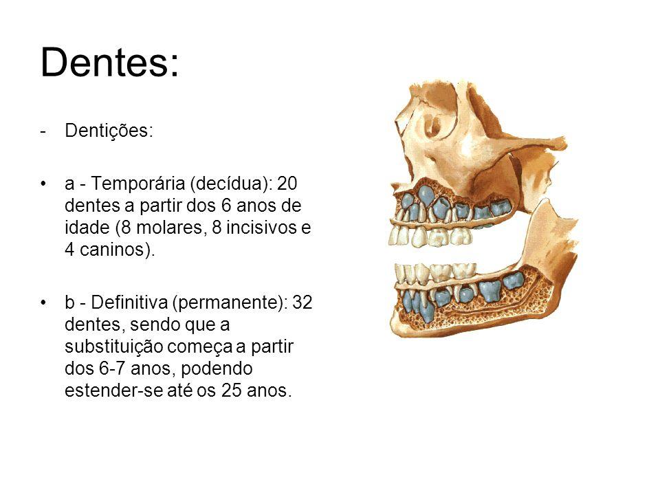 Dentes: Dentições: a - Temporária (decídua): 20 dentes a partir dos 6 anos de idade (8 molares, 8 incisivos e 4 caninos).