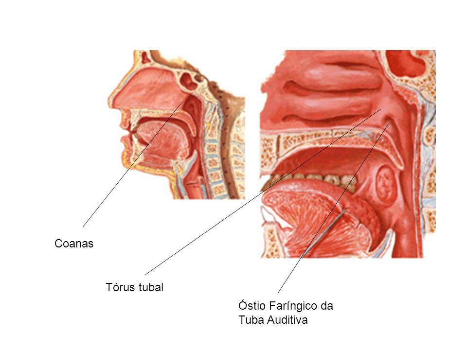 Coanas Tórus tubal Óstio Faríngico da Tuba Auditiva