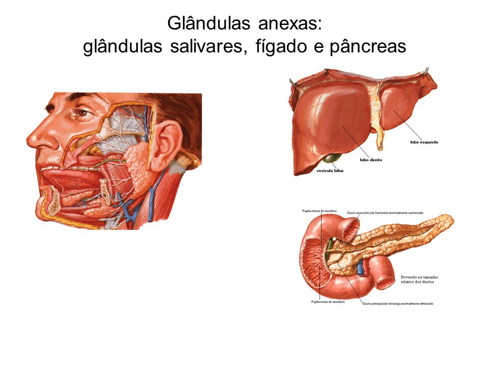 Glândulas anexas: glândulas salivares, fígado e pâncreas