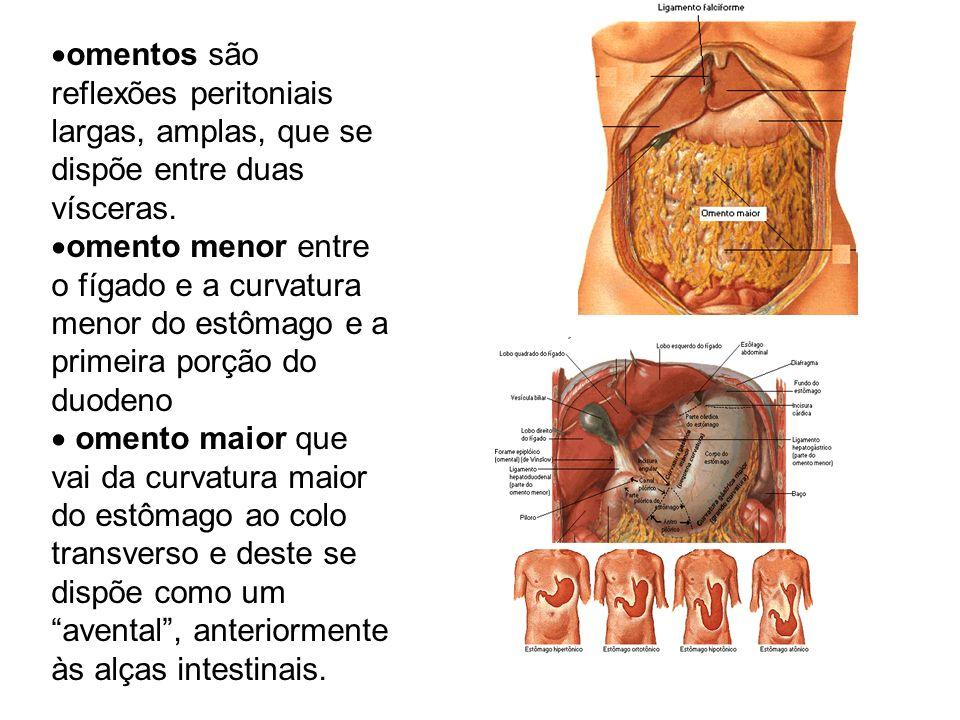 omentos são reflexões peritoniais largas, amplas, que se dispõe entre duas vísceras.