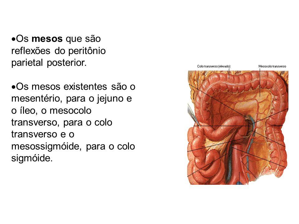 Os mesos que são reflexões do peritônio parietal posterior.