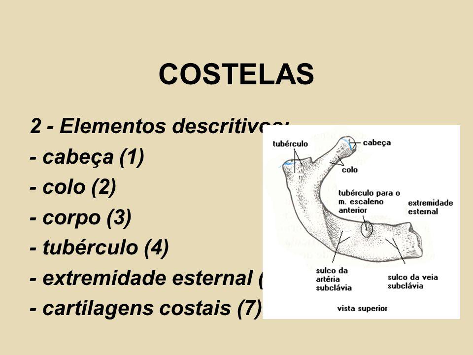 COSTELAS 2 - Elementos descritivos: - cabeça (1) - colo (2)