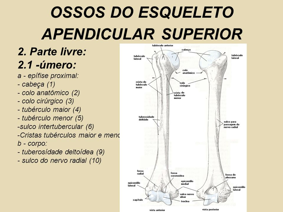 OSSOS DO ESQUELETO APENDICULAR SUPERIOR