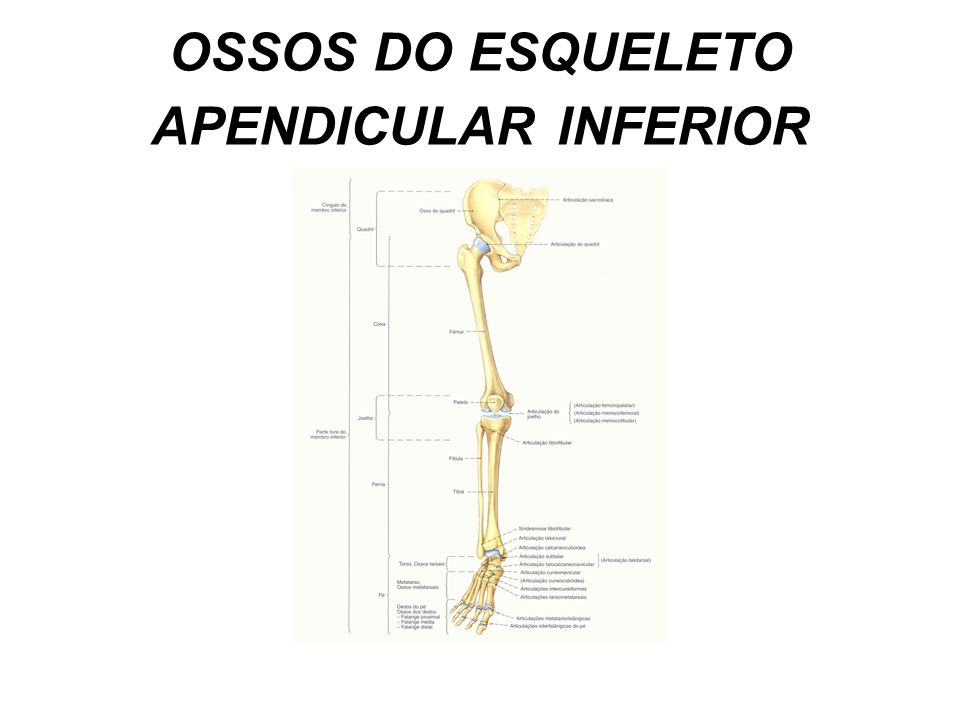 OSSOS DO ESQUELETO APENDICULAR INFERIOR