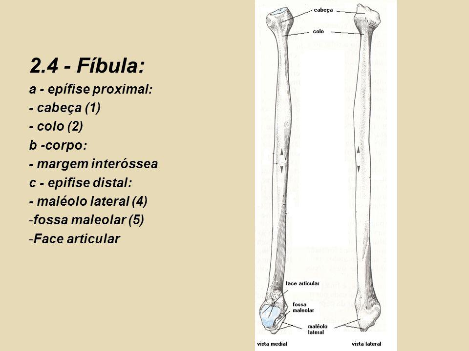 2.4 - Fíbula: a - epífise proximal: - cabeça (1) - colo (2) b -corpo: