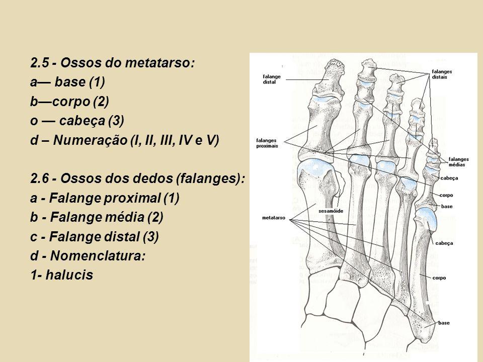 2.5 - Ossos do metatarso: a— base (1) b—corpo (2) o — cabeça (3) d – Numeração (I, II, III, IV e V)