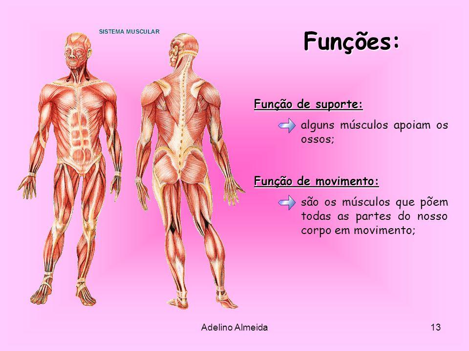 Funções: Função de suporte: alguns músculos apoiam os ossos;