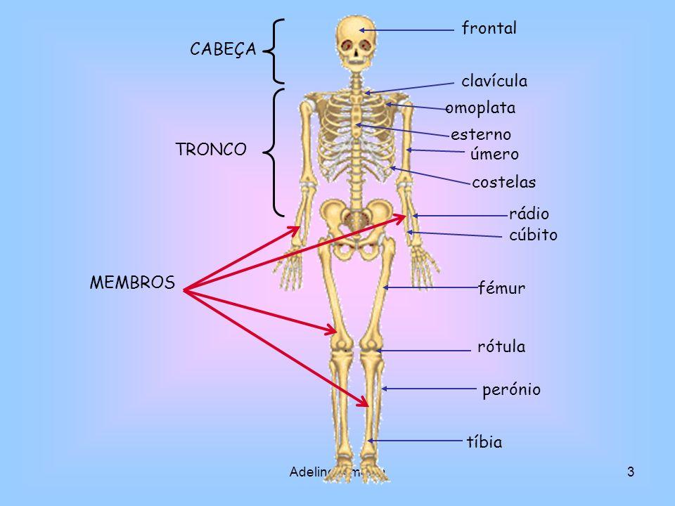 frontal CABEÇA clavícula omoplata esterno TRONCO úmero costelas rádio