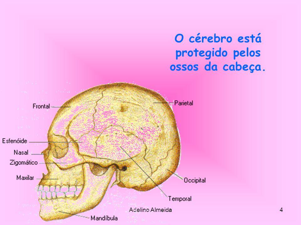 O cérebro está protegido pelos ossos da cabeça.