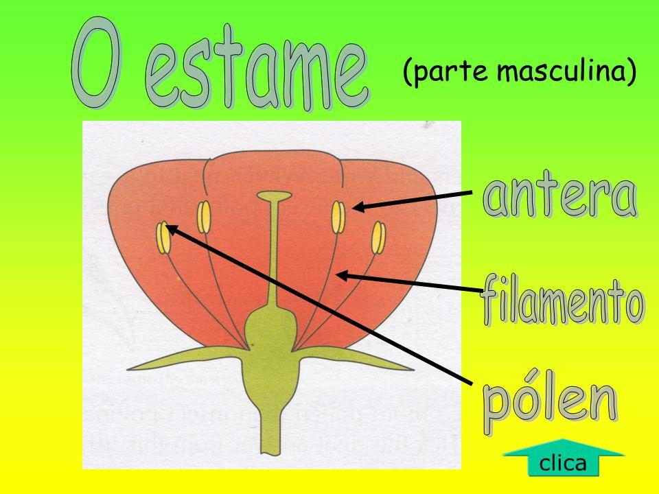 O estame (parte masculina) antera filamento pólen clica