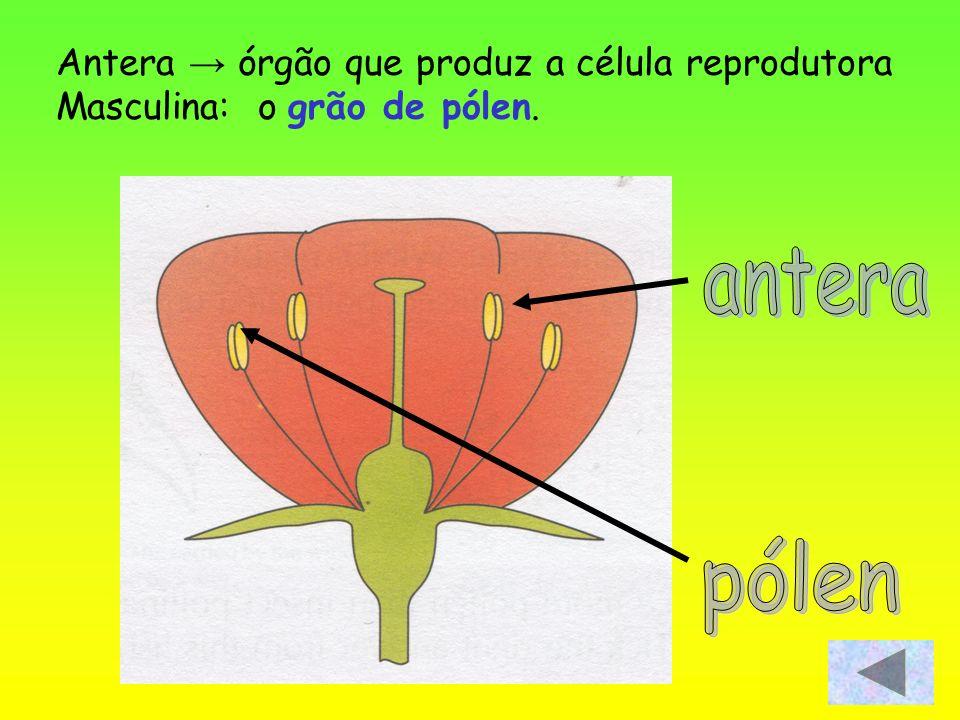 antera pólen Antera → órgão que produz a célula reprodutora