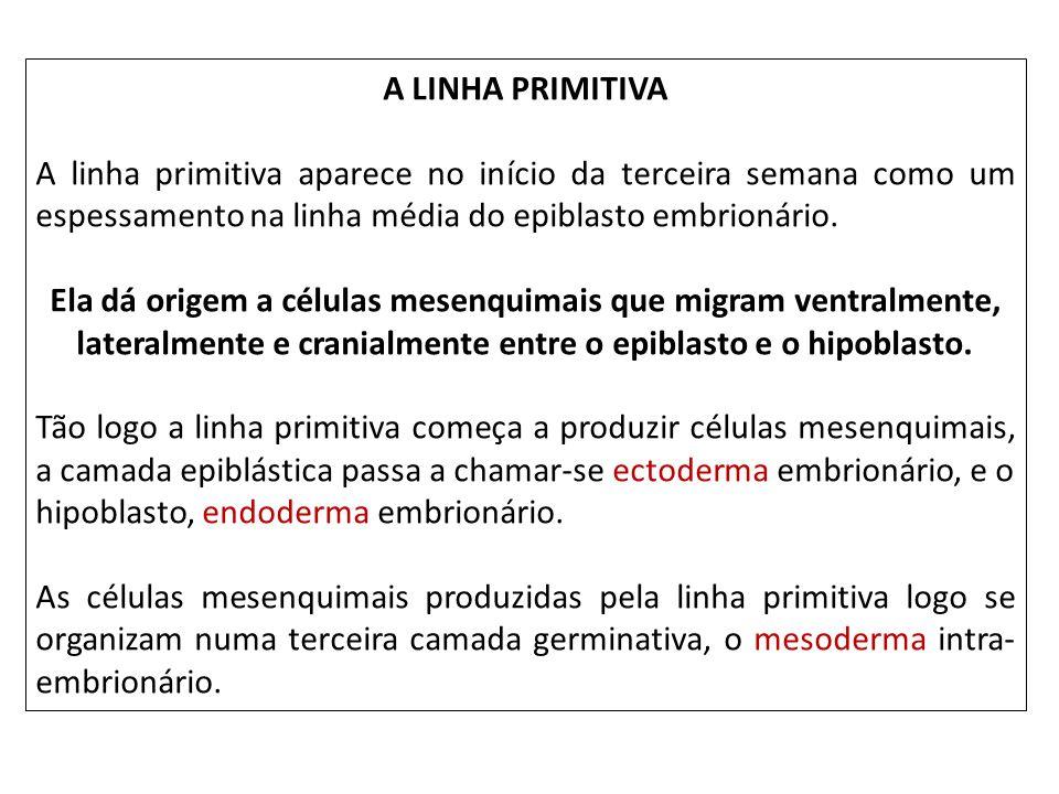 A LINHA PRIMITIVA A linha primitiva aparece no início da terceira semana como um espessamento na linha média do epiblasto embrionário.