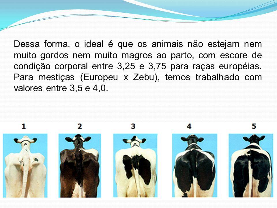Dessa forma, o ideal é que os animais não estejam nem muito gordos nem muito magros ao parto, com escore de condição corporal entre 3,25 e 3,75 para raças européias.