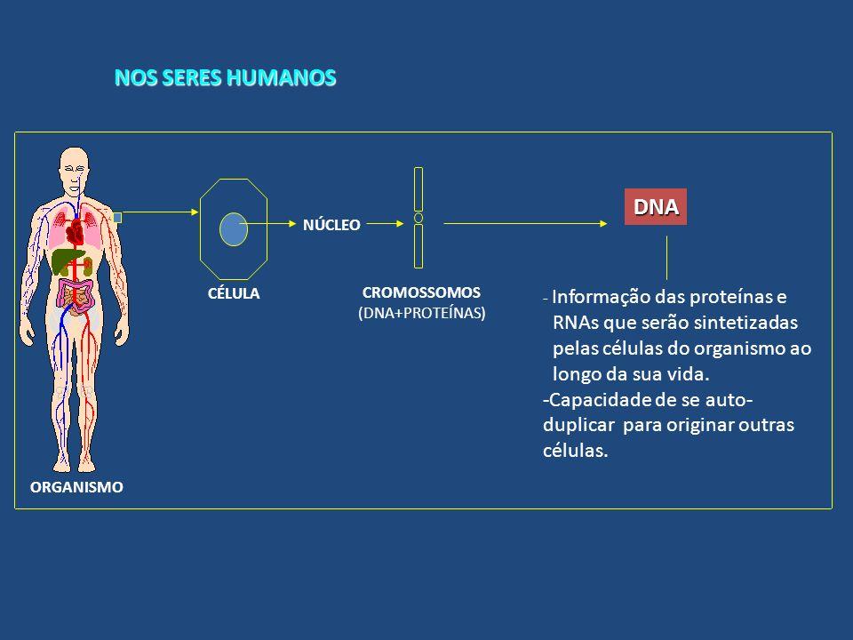 NOS SERES HUMANOS DNA RNAs que serão sintetizadas