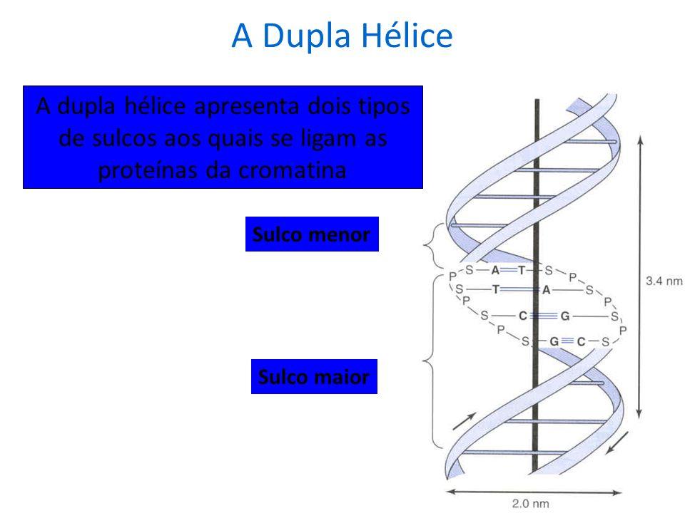 A Dupla Hélice A dupla hélice apresenta dois tipos de sulcos aos quais se ligam as proteínas da cromatina.