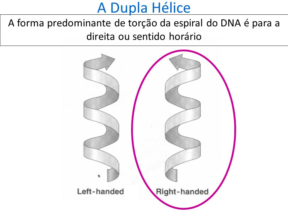 A Dupla Hélice A forma predominante de torção da espiral do DNA é para a direita ou sentido horário