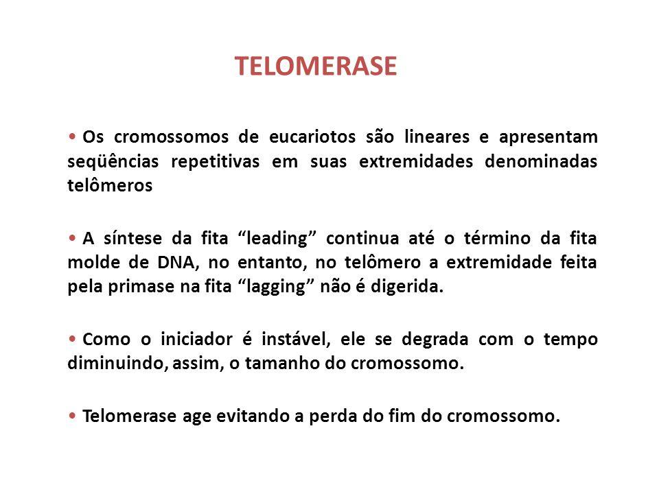 TELOMERASE Os cromossomos de eucariotos são lineares e apresentam seqüências repetitivas em suas extremidades denominadas telômeros.