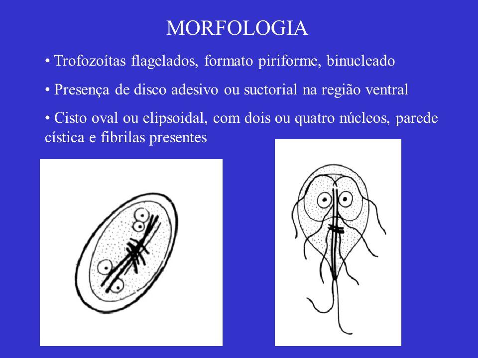MORFOLOGIA Trofozoítas flagelados, formato piriforme, binucleado