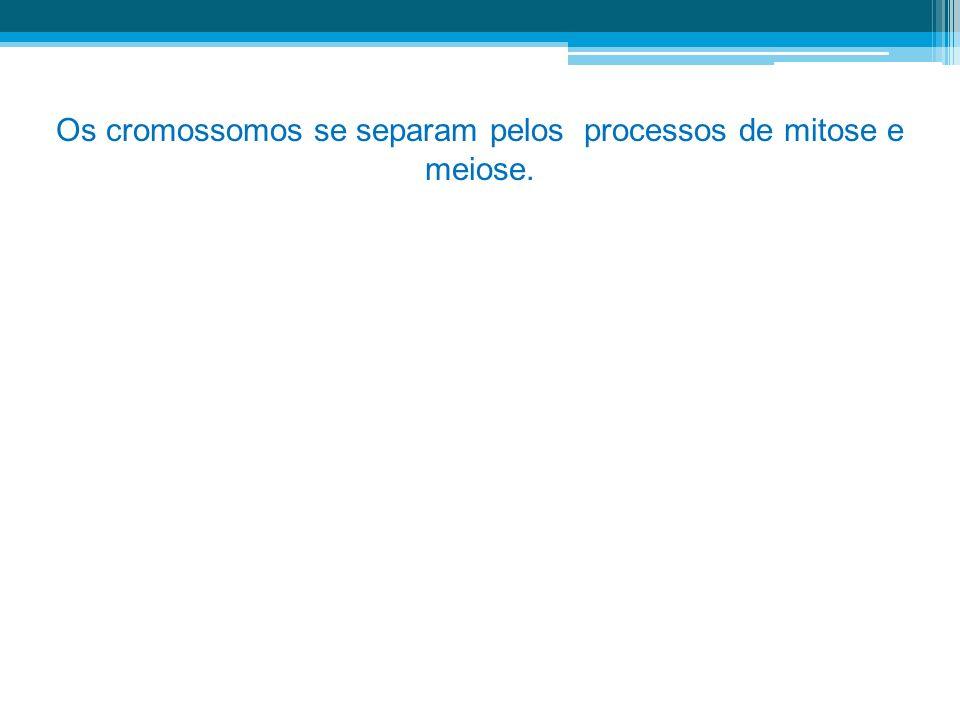 Os cromossomos se separam pelos processos de mitose e meiose.
