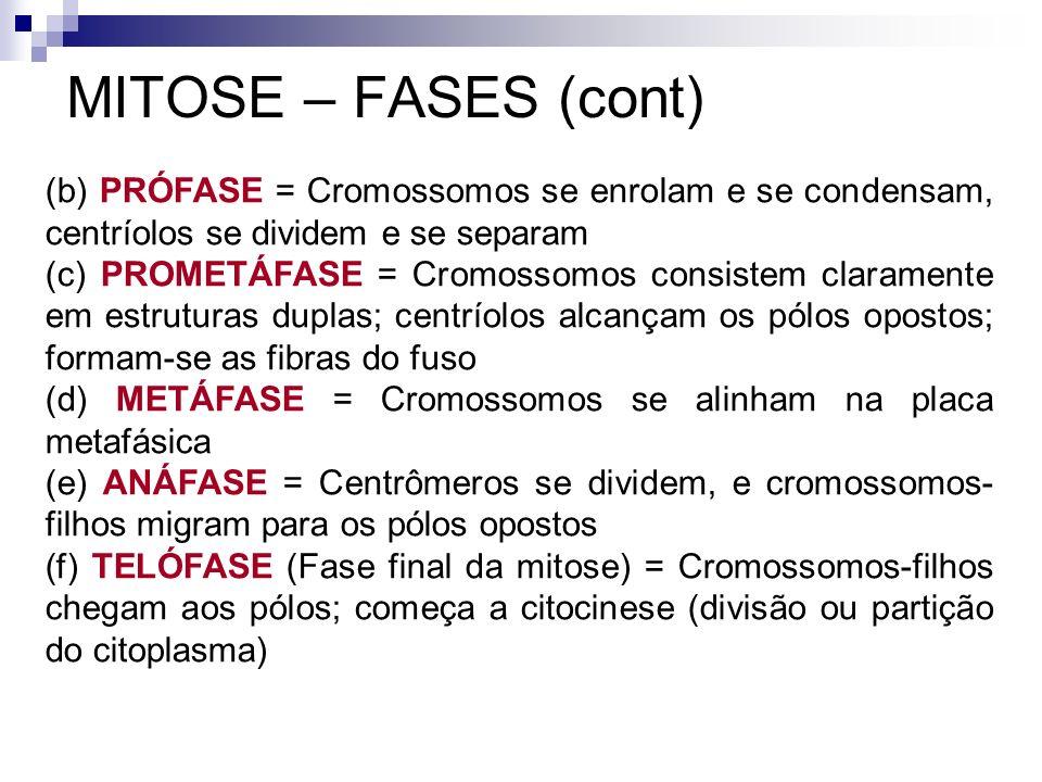 MITOSE – FASES (cont) (b) PRÓFASE = Cromossomos se enrolam e se condensam, centríolos se dividem e se separam.