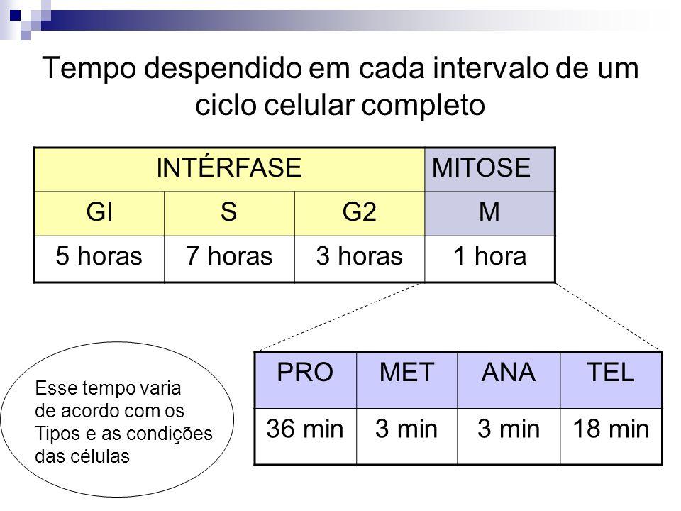 Tempo despendido em cada intervalo de um ciclo celular completo